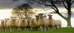 Sheep Meeting