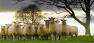 Sheep Meeting